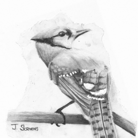 Blue Jay  Graphite , Charcoal & Guash on textured paper