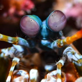Mantis Shrimp up close. Taken at Puerto Galera, Philippines.