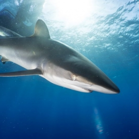 Silky Shark, Gardens of the Queen, Cuba