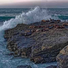 Seals bed down for the night in La Jolla.