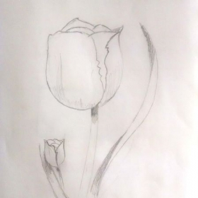 Tulip pencil drawing study.
