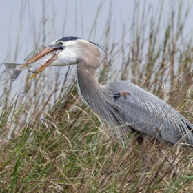 Blue Heron with a large fish