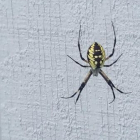 Maryland rare colorful Spider on my Shed's wall. Beauty....