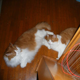 Hamish and Angus love to play around the harp when a string breaks--new toy for them!