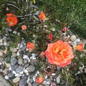 Roses of Half moon bay