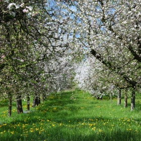 Apple trees blooming in Switzerland, around Lake Hallwil.