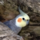 Thumb_123831_pi_cockatiel-at-nest-entrance