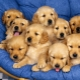 Thumb_149628_pi_golden_retriever_puppies