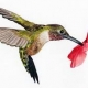 Thumb_99758_pi_hummingbird