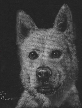 Jindu Dog Portrait.