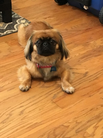 This is Pixel, my one-year-old Pekingese who will sniff your toes to determine if you are worthy of entry into his domain!