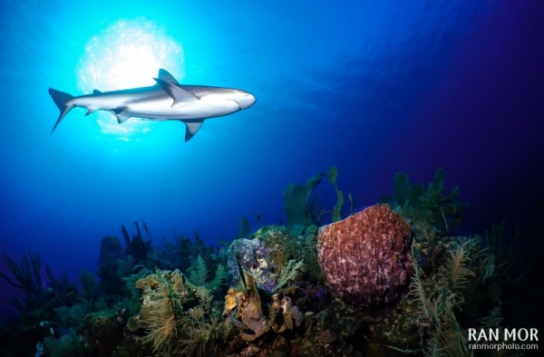 Caribbean Reef Shark, Gardens of the Queen, Cuba.