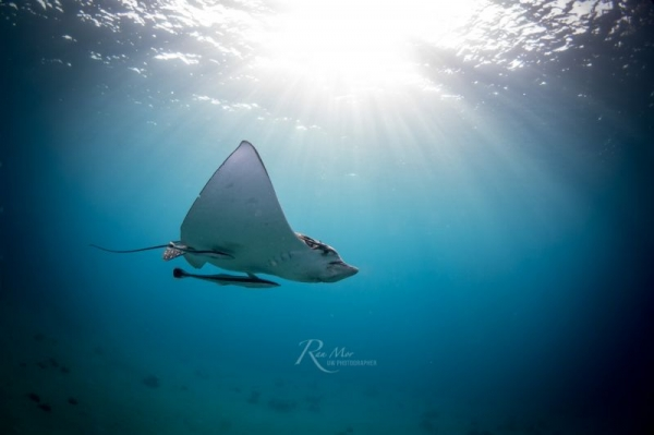 Spotted Eagle Ray gliding away in the Red Sea
