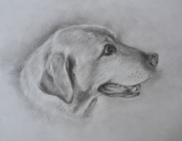 A pet portrait in Graphite pencil. Learn how to draw pets!  Lessons include how to create lifelike eyes, nose, fur, expression etc..