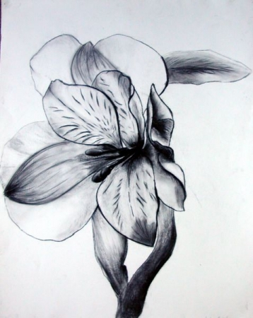 Charcoal drawing of a flower.