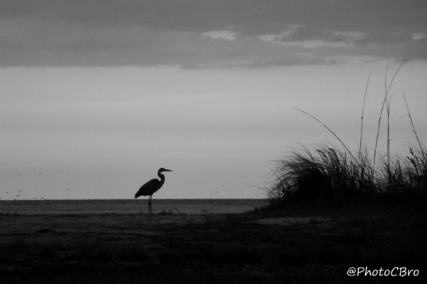 Heron on the Beach.
