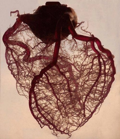 This is a picture of the arteries of the heart with its capillaries. Wanna know more about it? Let's start tutoring.