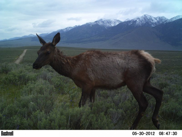 We use motion-activated camera to track mammal populations and movements, like this elk in Montana!