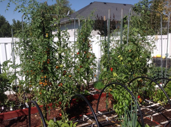 Save room by growing tomatoes vertically