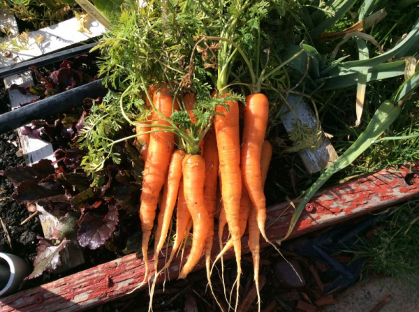 Over wintered Negovia carrots