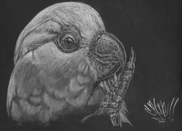Charcoal Drawing of a Cockatoo Bird